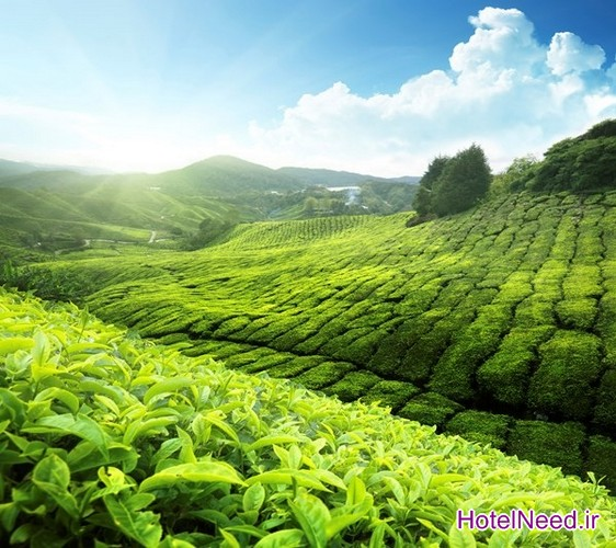 مزرعه کشت چای سبز Boseong