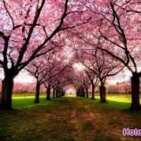 زیباترین شکوفه های بهاری سراسر جهان